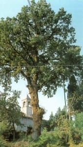 quercia roverella di Vignola